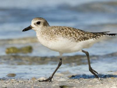Closeup of a Black-Bellied Plover, Sanibel Island, Florida by Tim Laman