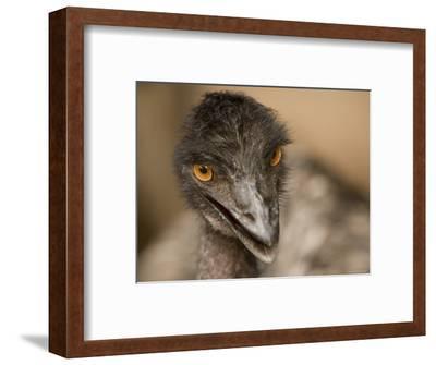 Closeup of a Captive Emu