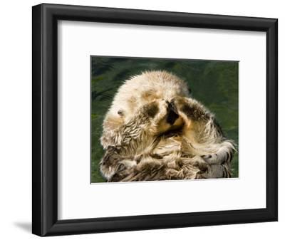 Closeup of a Captive Sea Otter Covering his Face