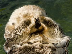 Closeup of a Captive Sea Otter Covering his Face by Tim Laman