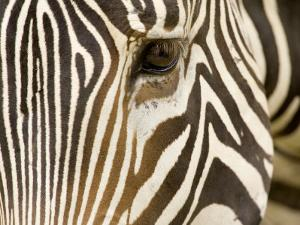 Closeup of a Grevys Zebra's Face by Tim Laman