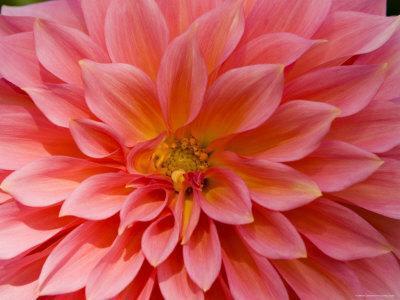 Closeup of a Pink Flower in Butchart Gardens