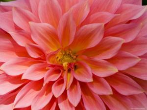 Closeup of a Pink Flower in Butchart Gardens by Tim Laman