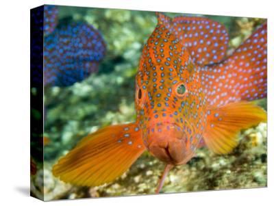 Closeup of a Spinecheek Anemonefish, Bali, Indonesia