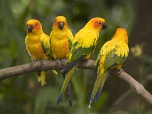 Closeup of Four Captive Sun Parakeets by Tim Laman