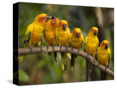Closeup of Six Captive Sun Parakeets