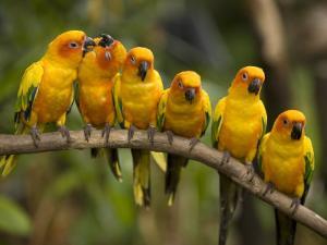 Closeup of Six Captive Sun Parakeets by Tim Laman
