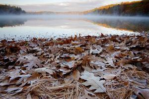 Frost-coated oak leaves and pine needles at the edge of Walden Pond. by Tim Laman