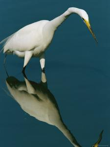 Great Egret Hunting in Calm Water by Tim Laman