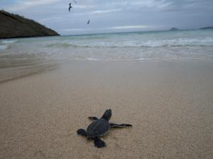 Green Sea Turtle, Chelonia Mydas, Hatchling Making its Way to the Ocean by Tim Laman