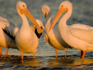 Group of American White Pelicans by Tim Laman
