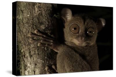 Head Portrait of a Wild Western - Sunda Tarsier (Tarsius Bancanus) on Tree Trunk at Night