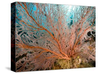 Image of a Large Sea Fan, Also Called Gorgonia Coral, Bali, Indonesia