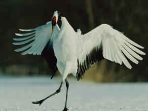Japanese or Red-Crowned Crane Displays Itself by Tim Laman