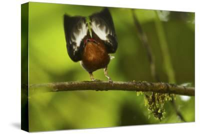 Male Club-Winged Manakin (Machaeropterus Deliciosus) Hitting Wings Together To Attract Mate