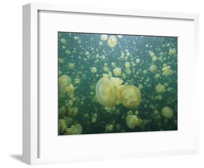 Mastigias Species Jellyfish Fill Landlocked Jellyfish Lake in Palau