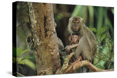 Mother and Baby Monkey Sit On a Tree Limb. Another Peers From Behind.