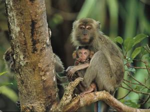 Mother and Baby Monkey Sit on a Tree Limb by Tim Laman