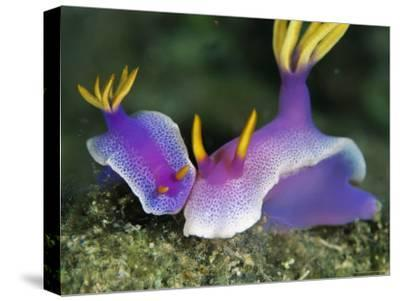 Pair of Bullock's Chromodoris Nudibranchs