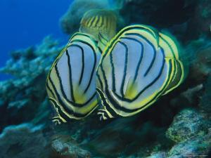Pair of Meyer's Butterflyfish Swimming Along a Reef Wall by Tim Laman