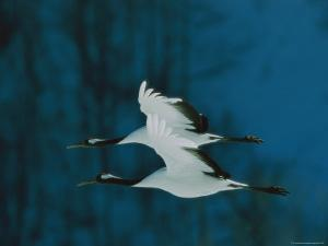 Perfect Formation of Two Japanese or Red-Crowned Cranes in Flight by Tim Laman