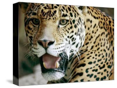 Portrait of a Captive Jaguar, Massachusetts