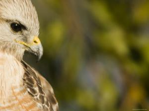 Portrait of a Florida Red-Shouldered Hawk by Tim Laman