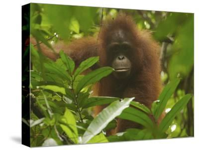 Portrait of a Young Female Bornean Orangutan, Pongo Pygmaeus