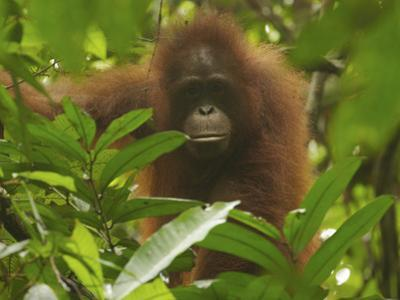 Portrait of a Young Female Bornean Orangutan, Pongo Pygmaeus by Tim Laman