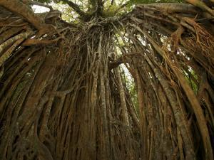"Strangler Fig Tree, Ficus Virens, known as the ""Cathedral Fig"" by Tim Laman"