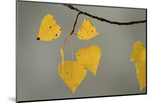 Yellow leaves of a gray birch, Betula populifolia, in autumn at Walden Pond. by Tim Laman