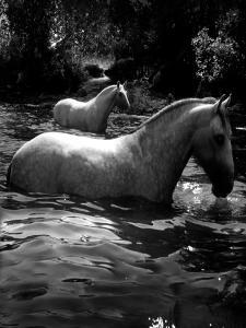 2 White Horses in Water by Tim Lynch