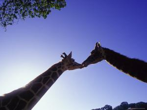 A Mother and Baby Giraffe by Tim Lynch
