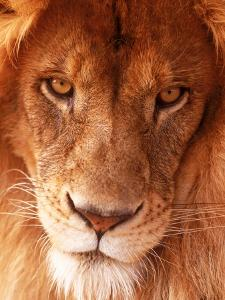 Close-up of Lion's Face by Tim Lynch