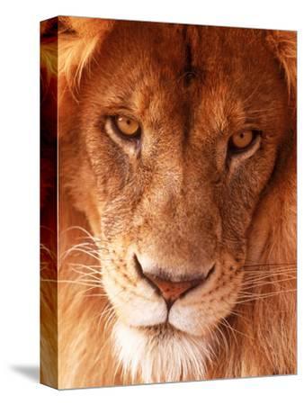 Close-up of Lion's Face