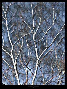 Faa Birch by Tim Nyberg