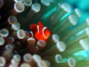 Tiny Fish Among the Tentacles of a Sea Anemone in the Reefs of Malaysia by Tim Rock