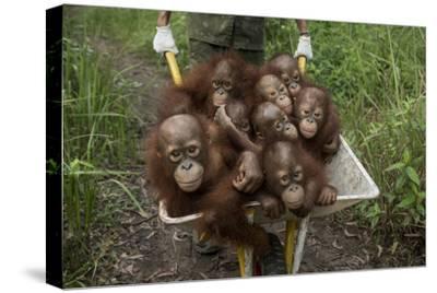A Keeper Transports a Group of Juvenile Orangutans by Wheelbarrow
