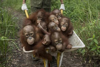A Keeper Transports a Group of Juvenile Orangutans by Wheelbarrow by Tim Tim
