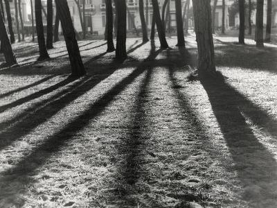 Timber-Backlit Pinewood Viareggio-Renzo Ferrini-Photographic Print