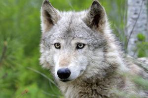 Timber Grey Wolf