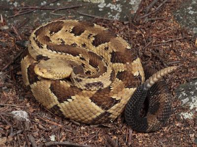 Timber Rattlesnake, Crotalus Horridus, Coiled and Ready to Strike-George Grall-Photographic Print