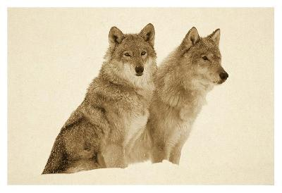 Timber Wolf portrait of pair sitting in snow, North America - Sepia-Tim Fitzharris-Art Print
