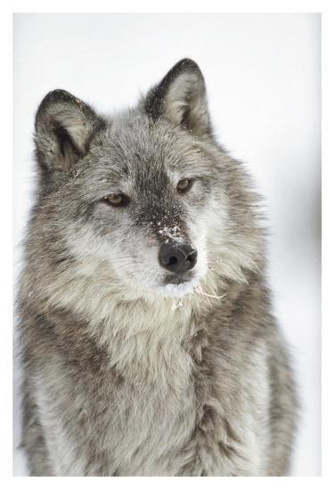 timber wolf portrait with snow on muzzle montana art print by tim