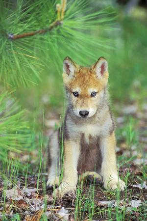 Timber Wolf Pup Sitting Down--Photographic Print