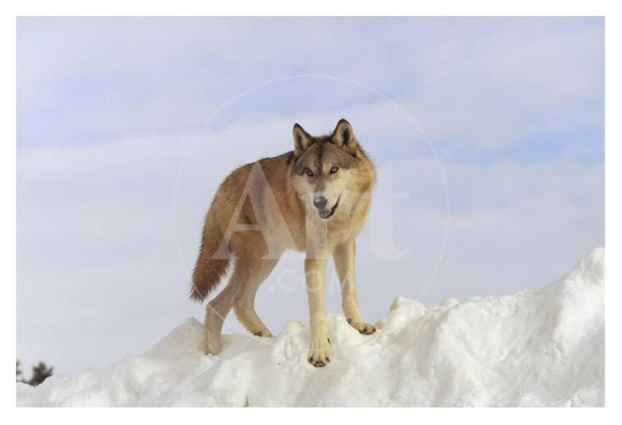 Timber Wolf standing at the top of a snow bank, Montana Art Print by Tim  Fitzharris   Art com
