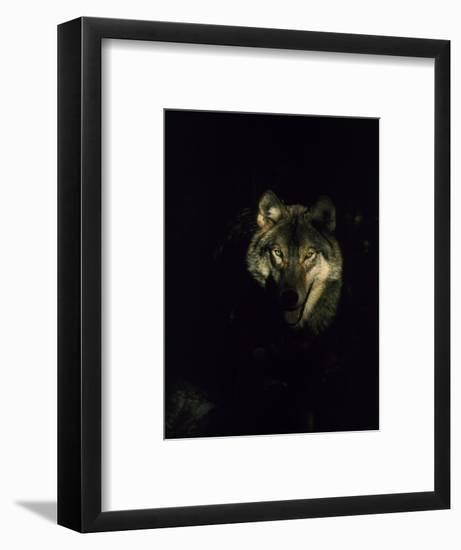 Timber Wolf, USA-Mark Hamblin-Framed Photographic Print