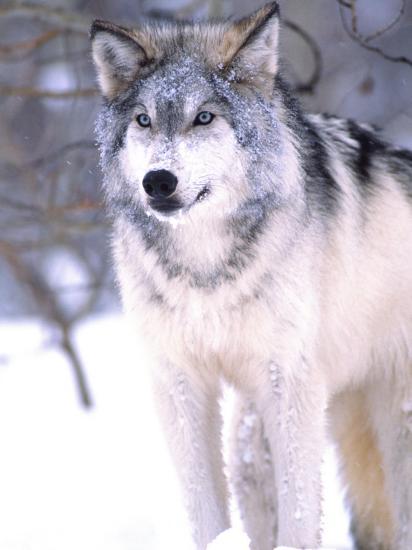Timber Wolf, Utah, USA-David Northcott-Photographic Print