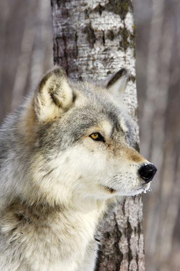 Timber Wolf--Photographic Print