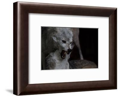 Timber Wolves fighting-Sue Demetriou-Framed Photographic Print